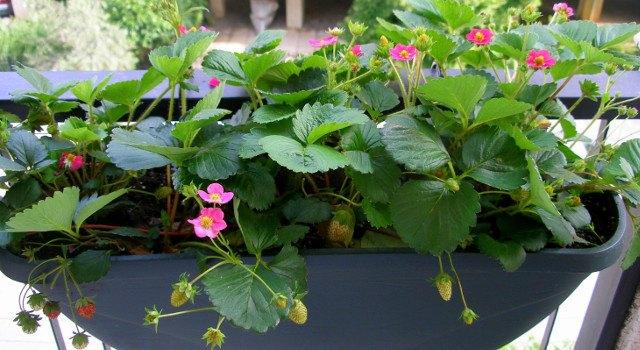 fraoulia paragogis